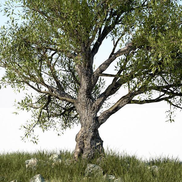 HD Olive Tree