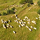 Aerial Footage With Sheep in Field
