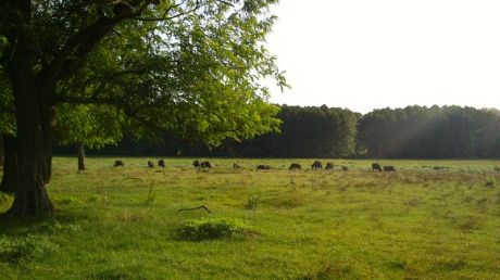 Buffalos! a few years back they were almost extinct and only 25 left.