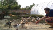 Vlado's geese