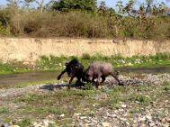 buffalos fighting
