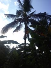 climbing for coconut