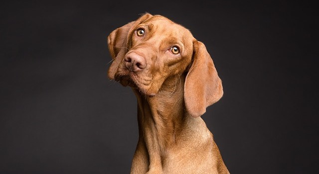 A curious Vizsla dog thinking about how moving with pets will affect his family.
