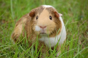A white and brown guinea pig