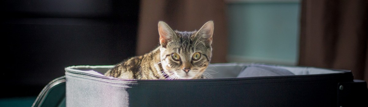 A cat in a suitcase