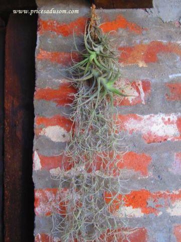 Ovoj biljki koja visi u restoran-sali za život je potrebno samo orošavanje vodom