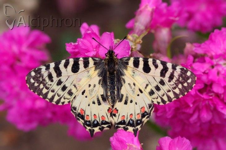 Djurdjevdanski leptir Foto Milos Popovic