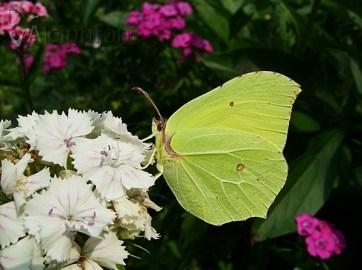 Limunovac - mužjak sa limun žutim krilima - Foto: Miroslav Miljević