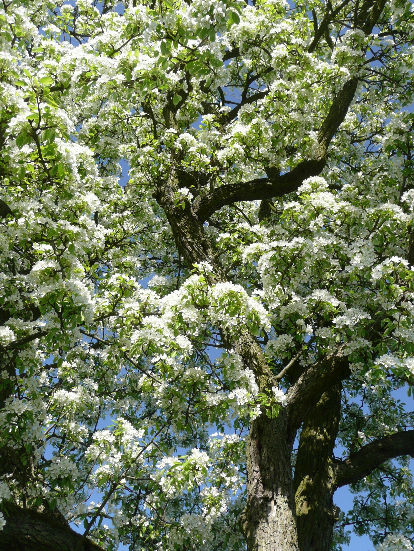blühende Birnbaumkrone Ausschnitt