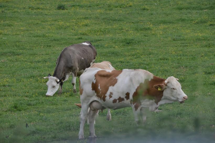 Znanstvenici treniraju krave na toalet kako bi spasili planet