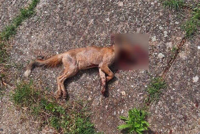 Čitateljica Ana iz Križevaca: 'Dobro čuvajte svoje životinje jer o problemu lisica nitko ne brine'