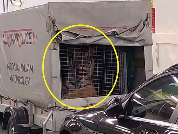Na trajektu za Hvar u prikolici prevozio tigra, posada za to uopće nije znala