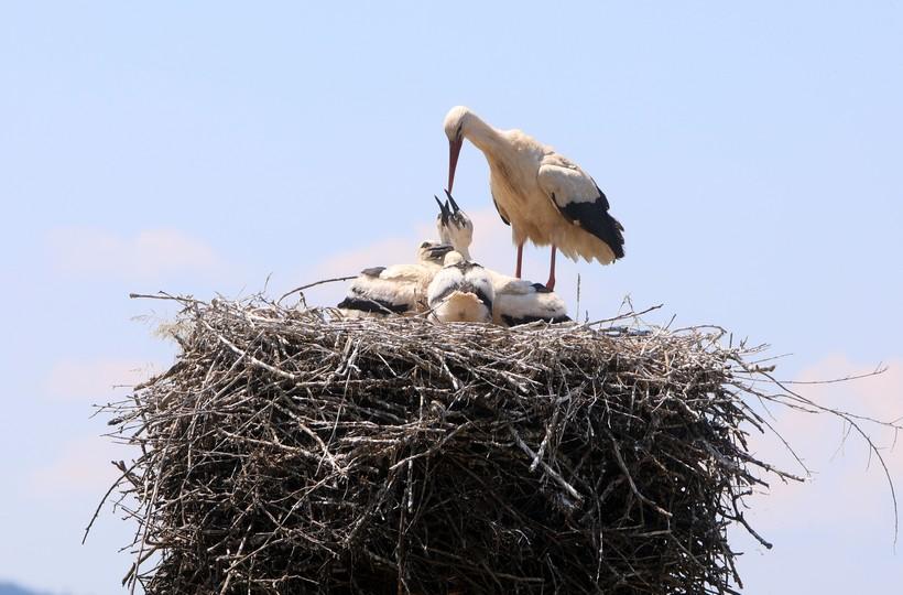 Na vašem objektu je gnijezdo rode? Možete ostvarite naknadu za očuvanje bijele rode