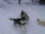 20200117152523369998 - Šest godina uzgaja energične polarne pse: Sibirski haskiji iz doline Sane
