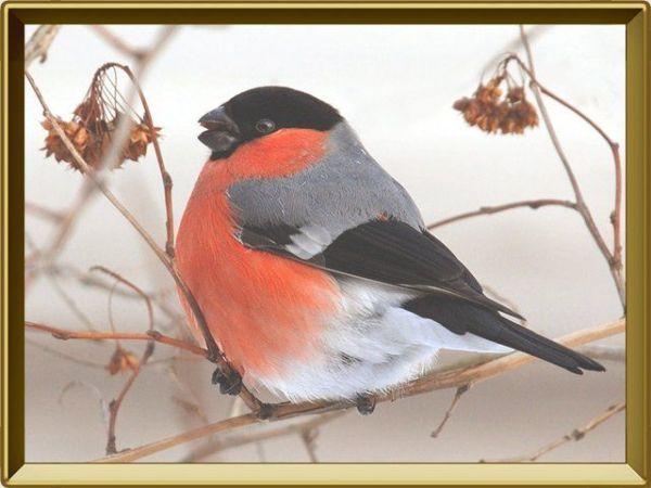 Фото птицы снегирь » Скачать лучшие картинки бесплатно на ...