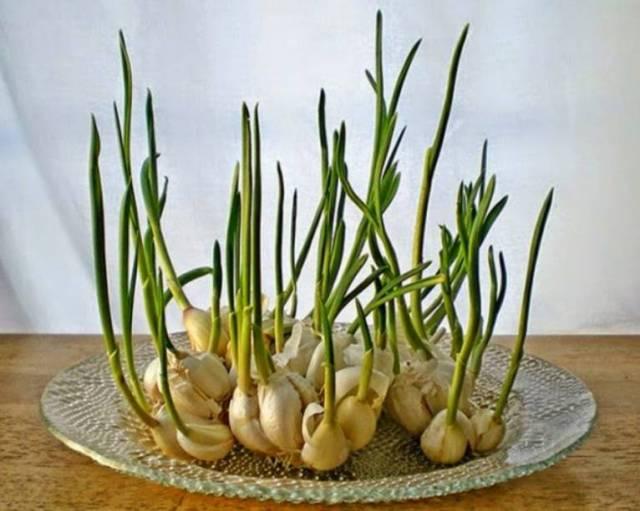 8 druhů zeleniny, které si vypěstujete u vás na parapetu - Česnek