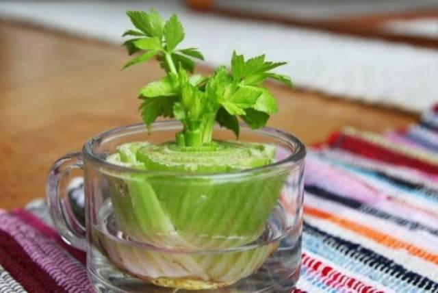8 druhů zeleniny, které si vypěstujete u vás na parapetu - Celer