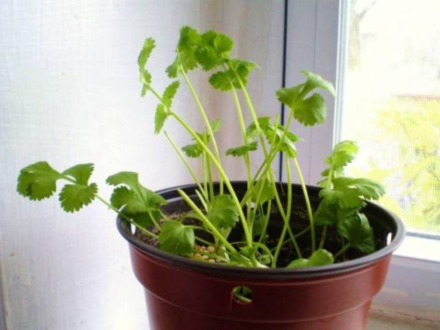 8 druhů zeleniny, které si vypěstujete u vás na parapetu - Koriandr