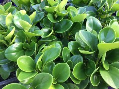 Rostlina představující přírodní řešení k vypořádání se s otravným hmyzem!