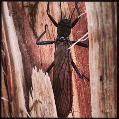 German Adult Stonefly