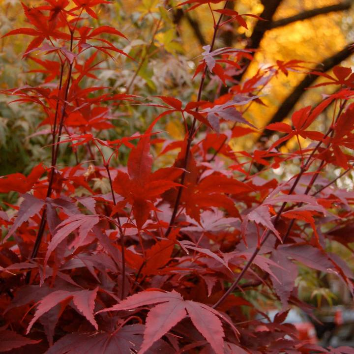 Dark Red Japanese Maple