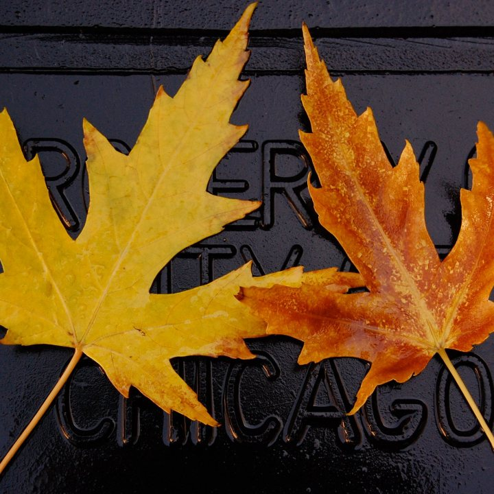 Two symmetrical orange maple leaves on a black trash can lid.