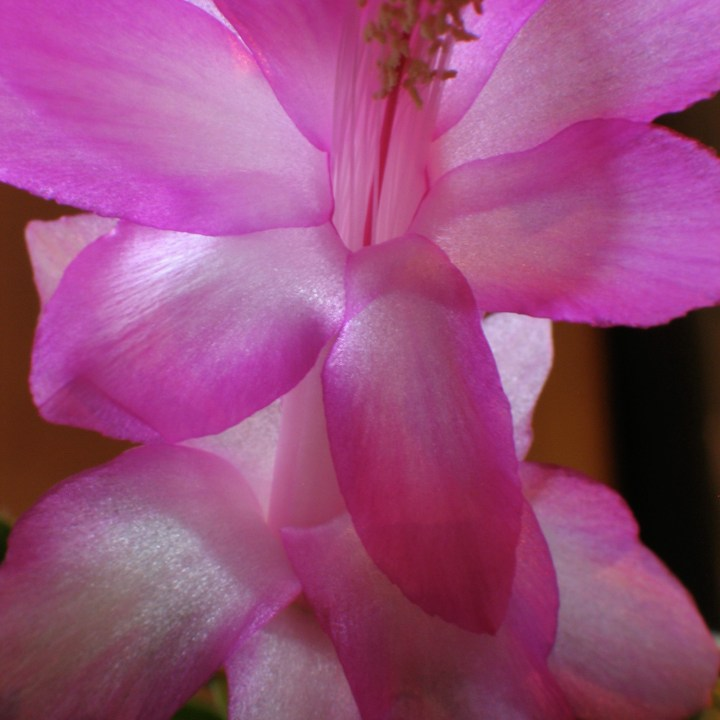 Close up of a pink and white flower