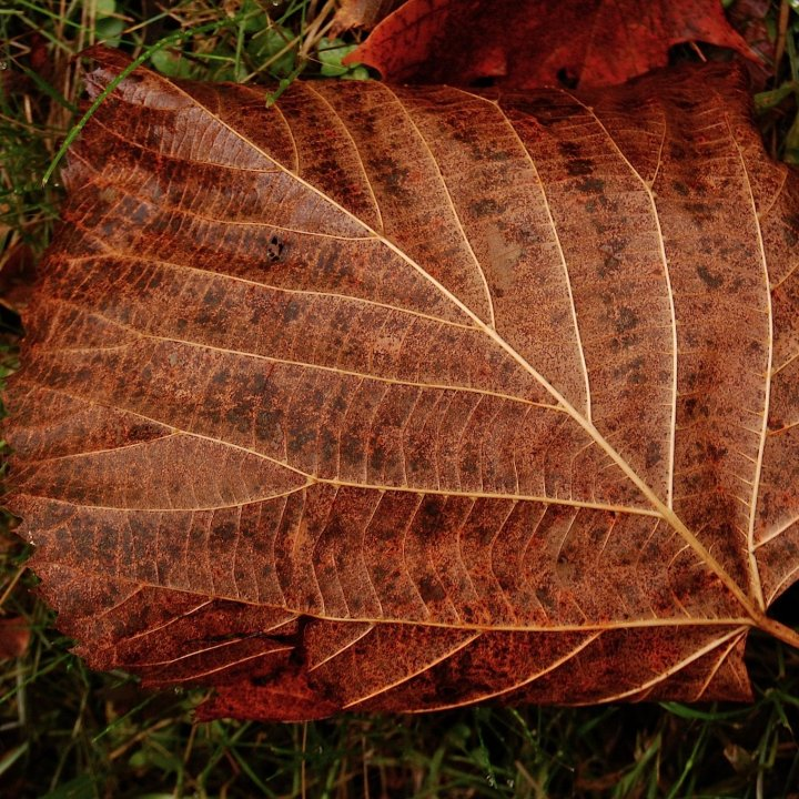 A leaf on the ground in a rich chestnut color