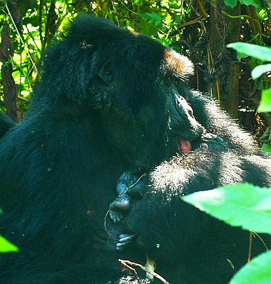 New Born Mountain Gorilla