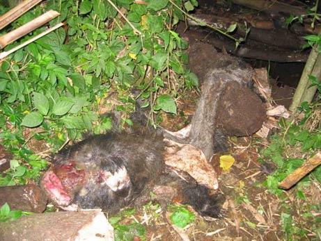 Karema, a dead mountain gorilla's, remains.