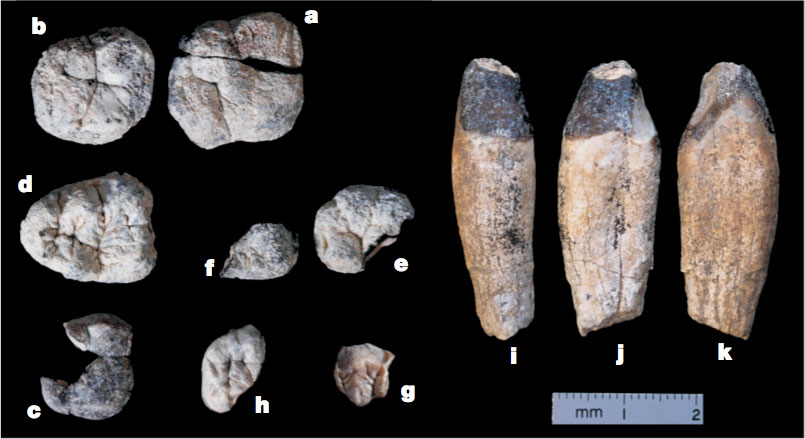 The Nine Chororapithecus Teeth