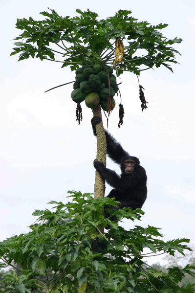 An adult male chimpanzee obtains cultivated papaya fruit.