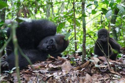 Gorillas in the Lope NationalPark