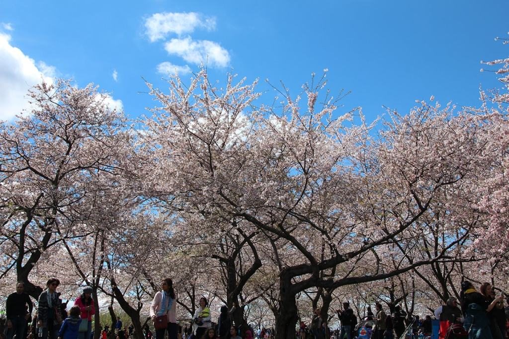Trees at the National Mall bloom with pink flowers during the Cherry Blossoms Festival