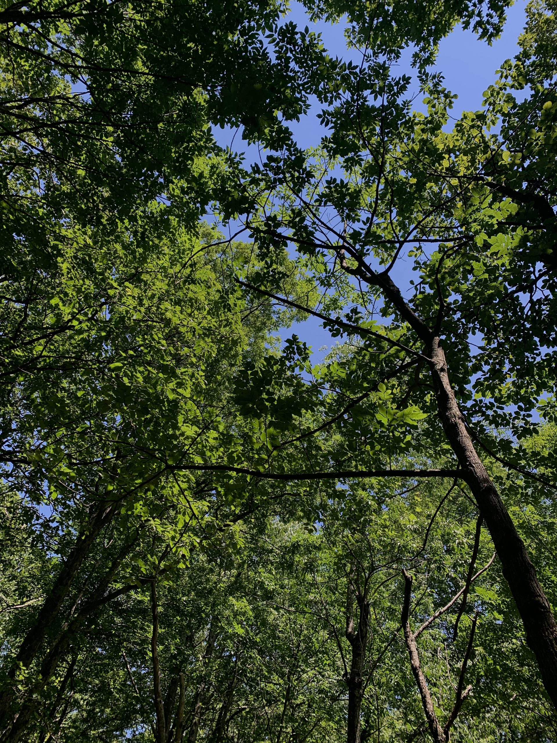 Trees towering above Blood Mountain and Freeman Loop trail