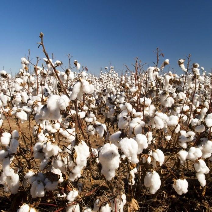 Exportações de algodão são recorde no Brasil em 2019