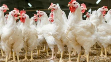 Photo of Filipinas e Alemanha registram casos de gripe aviária
