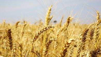 Foto de Índice global de preços de alimentos sobe em outubro pelo 5° mês consecutivo, diz FAO