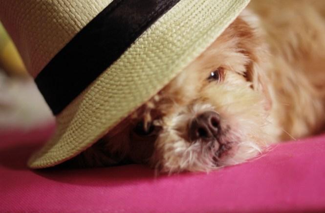 Um shitzu de chapéu.