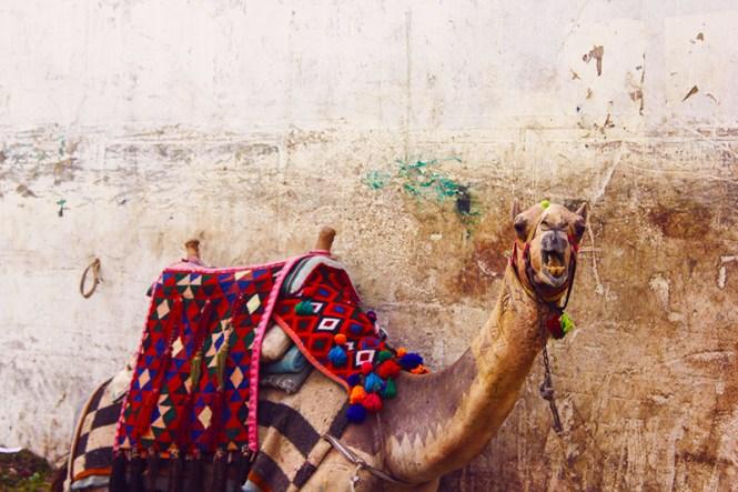 camelo em cairo, no egito
