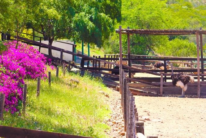Ostrich Farm - Oudtshoorn - Garden Route