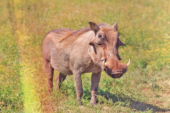 Pumba - Safári na África - Addo Park