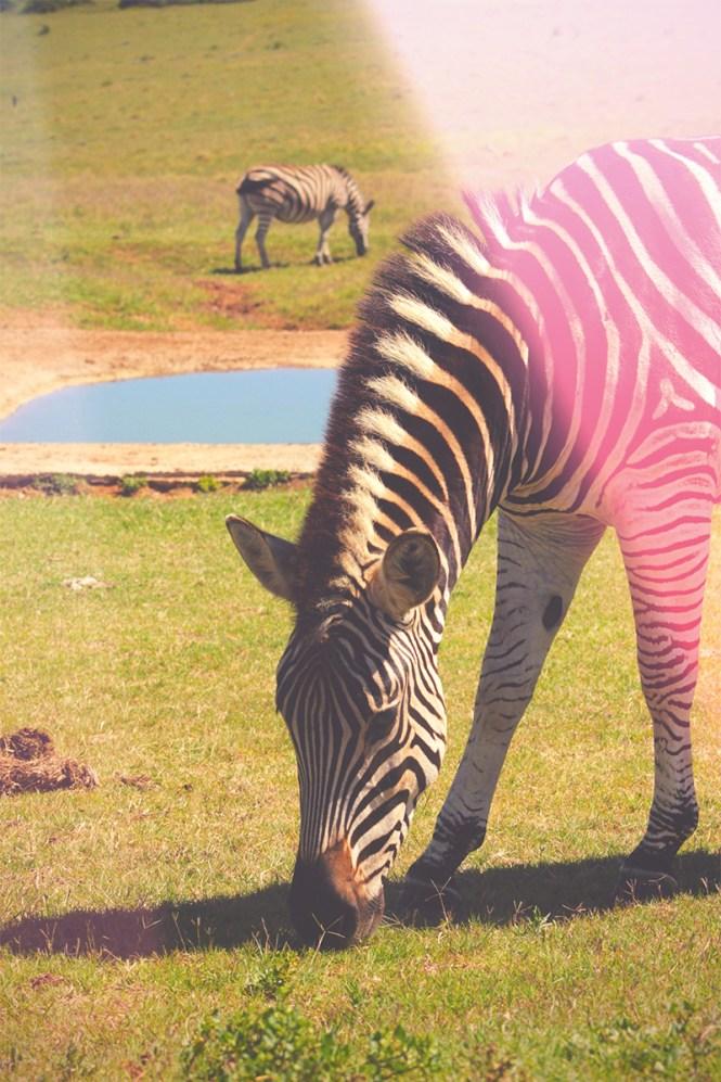 zebra - addo elephant park