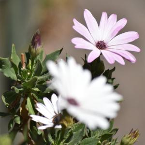 flores morelia ACG 2