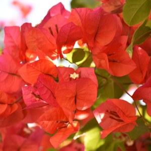 flores morelia ACG jacarandas 3