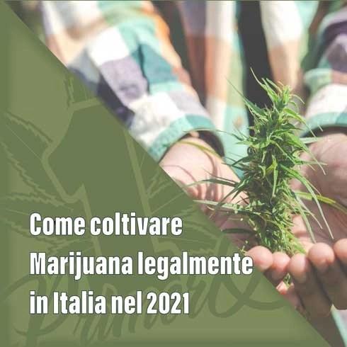 come-coltivare-marijuana-legalmente-1