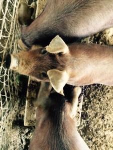 Pigs still enjoying the wine pomace