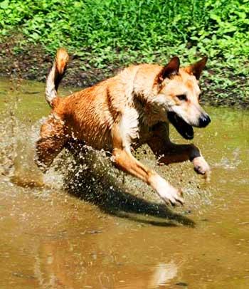 Carolina Dog Breed Info Characteristics Traits