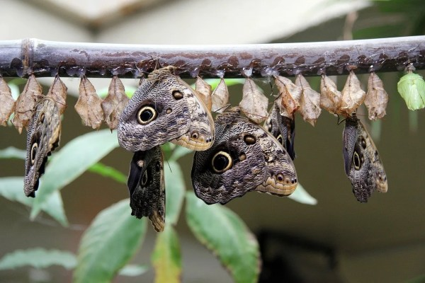butterflies hatching from cocoons on a branch