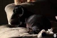 mourning dacshund